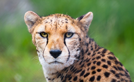 A North African cheetah (also called a northeast African cheetah, Acinonyx jubatus soemmeringii) staring directly at the camera.