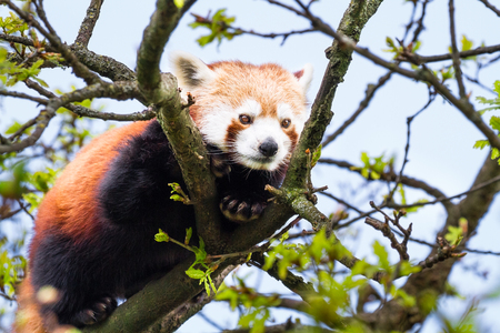 An adult red panda (Ailurus fulgens) resting in a tree on a sunny day.