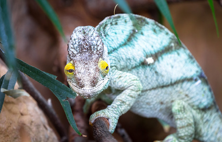 An adult Parsons chameleon (Calumma parsonii) climbs through tree branches. Stock Photo