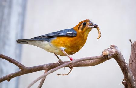 Eine orangeköpfige Drossel (Geokichla citrina) sitzt auf einem Ast und frisst einen Mehlwurm. Standard-Bild