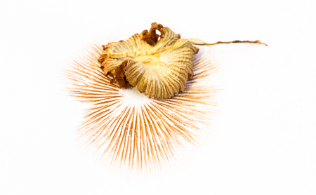 An orange mushroom leaves a brown-orange spore print on a white piece of paper as it dries and shrivels.
