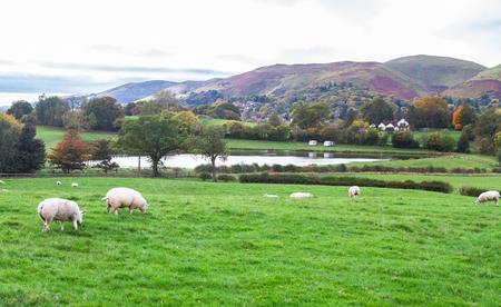 Des moutons paissent dans une prairie herbeuse dans le Shropshire rural, en Angleterre.