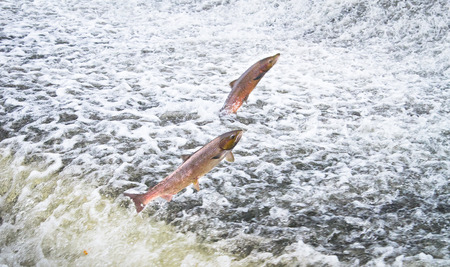 A pair of Atlantic salmon (Salmo salar) jumps out of the water at the Shrewsbury Weir on the River Severn in an attempt to move upstream to spawn. Shropshire, England.