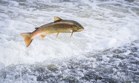 An Atlantic salmon (Salmo salar) jumps out of the water at the Shrewsbury Weir on the River Severn in an attempt to move upstream to spawn. Shropshire, England.