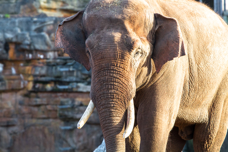 An adult asian elephant (Elephas maximus) walking in the sunshine. Stock Photo