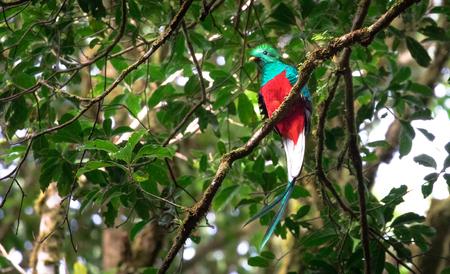 Resplendent quetzal (Pharomachrus mocinno) adult male, Monteverde area, Costa Rica. Stock Photo