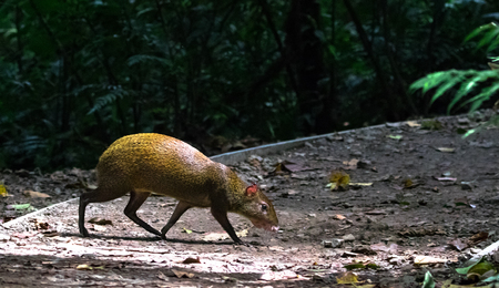 Central American agouti (Dasyprocta punctata), Monteverde Cloud Forest Reserve, Costa Rica.