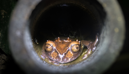 Spiny-headed tree frog (Anotheca spinosa) in a bamboo pole, Costa Rica.
