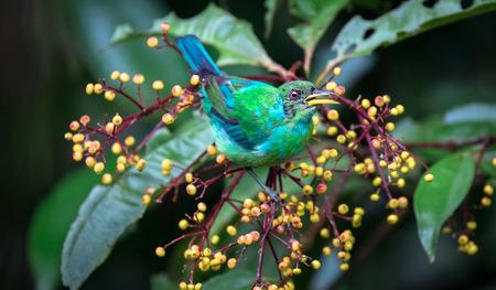 Green honeycreeper (Chlorophanes spiza), male juvenile, near Puerto Viejo de Sarapiqui, Costa Rica. Archivio Fotografico