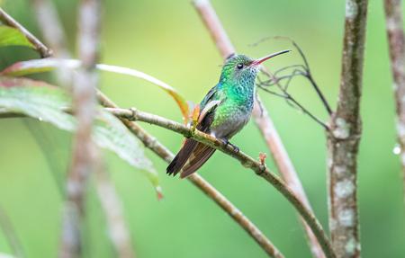Rufous-tailed hummingbird (Amazilia tzacatl) perched on a branch near Puerto Viejo de Sarapiqui, Costa Rica. Archivio Fotografico