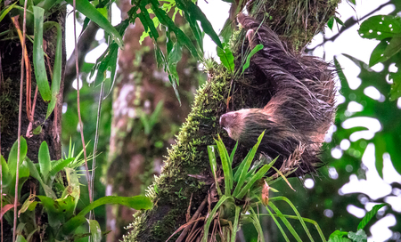 Hoffmann's two-toed sloth (Choloepus hoffmanni) upside down and very wet. near Puerto Viejo de Sarapiqui, Costa Rica.