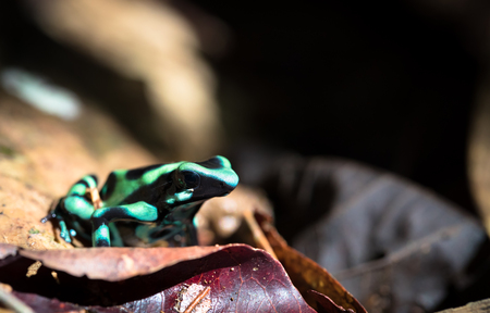 Green and black poison dart frog (Dendrobates auratus), near Puerto Viejo de Sarapiqui, Costa Rica. Archivio Fotografico