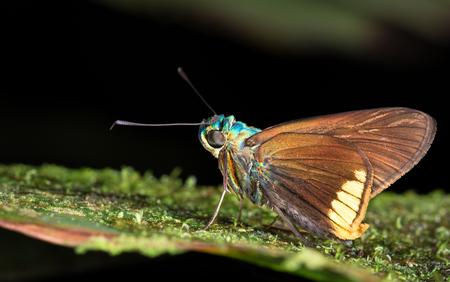 Iridescent moth on a leaf at night near Puerto Viejo de Sarapiqui, Costa Rica. Archivio Fotografico