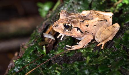 Common rain frog (Craugastor fitzingeri) near Puerto Viejo de Sarapiqui, Costa Rica. Archivio Fotografico