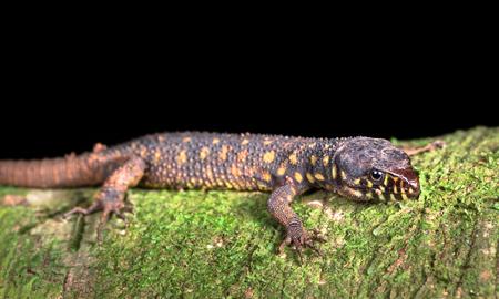 Yellow-spotted night lizard (Lepidophyma flavimaculatum) near Puerto Viejo de Sarapiqui, Costa Rica.