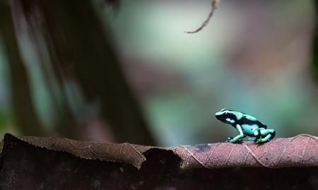 Green and black poison dart frog (Dendrobates auratus) near Puerto Viejo de Sarapiqui, Costa Rica.