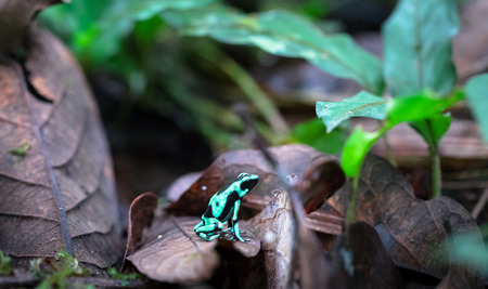 Green and black poison dart frog (Dendrobates auratus), near Puerto Viejo de Sarapiqui, Costa Rica. Stock Photo