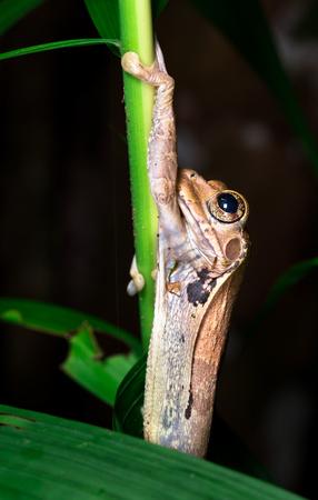Tree frog (Smilisca sp. ) near Puerto Viejo de Sarapiqui, Costa Rica.
