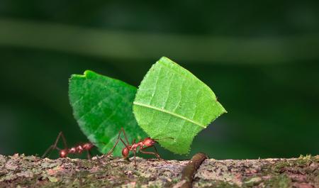 Hormiga cortadora de hojas (Atta sp.) Cerca de Puerto Viejo de Sarapiquí, Costa Rica. Foto de archivo
