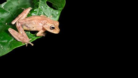 Tawny tree frog (Smilisca puma) near Puerto Viejo de Sarapiqui, Costa Rica.