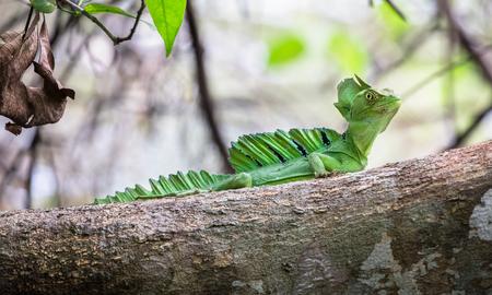 Green basilisk (Basiliscus plumifrons), Cahuita National Park, Costa Rica.