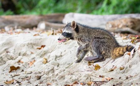 Baby raccoon (Procyon lotor), on the beach at Cahuita National Park, Costa Rica. Archivio Fotografico
