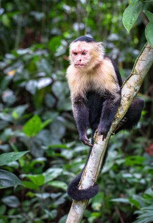 Panamanian white-faced capuchin (Cebus imitator) in Cahuita National Park, Costa Rica.