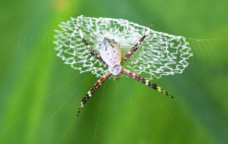 Argiope spider (Argiope sp.), Cahuita National Park, Costa Rica. Archivio Fotografico