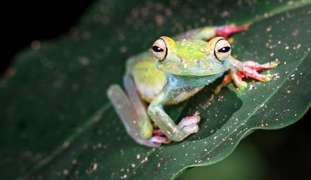 Scarlet-webbed tree frog (Boana rufitela), Cahuita National Park, Costa Rica.