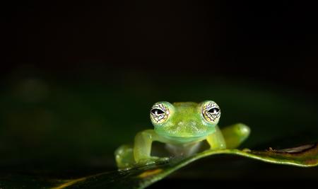 Ghost glass frog, or Limon giant glass frog (Sachatamia ilex), near Puerto Viejo de Sarapiqui, Costa Rica. Archivio Fotografico