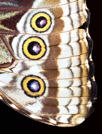 Closeup of the wing of a blue morpho butterfly (Morpho sp.), Costa Rica.