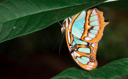 Malachite butterfly (Siproeta stelenes), Costa Rica.