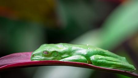 Gliding tree frog (Agalychnis spurrelli) asleep on a leaf. Costa Rica.