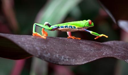 Red-eyed treefrog (Agalychnis callidryas) crawling across a large leaf. Costa Rica. Stock Photo