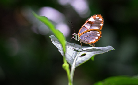 White-spotted glasswing butterfly (Greta sp., probably Greta nero or Greta annette), Tapanti-Macizo Cerro de la Muerte National Park, Costa Rica.