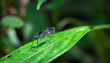 Large black wasp with a cup-like appendage on its abdomen in the Tapanti-Macizo Cerro de la Muerte National Park, Costa Rica. Archivio Fotografico