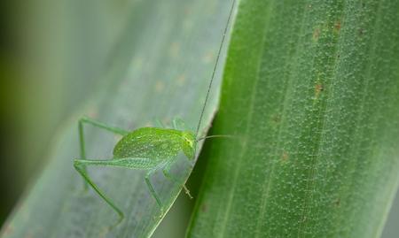Green cricket on a leaf in Costa Rica.
