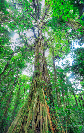 A massive tree dominates the jungle canopy and provides a home for dozens of epiphytic species. Monteverde, Costa Rica.
