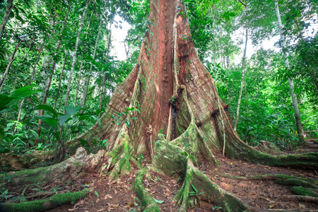 Enormous buttress roots emerge from the forest floor on the Osa Peninsula, Costa Rica. Imagens