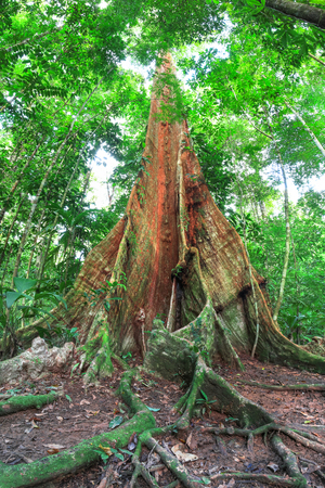 A tree with enormous buttress roots emerges from the forest floor on the Osa Peninsula, Costa Rica.