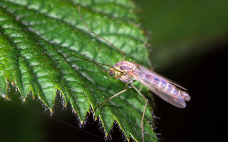 A large mosquito with iridescent wings found and photographed on a leaf at night at the Wood Lane Nature Reserve in Shropshire, England.