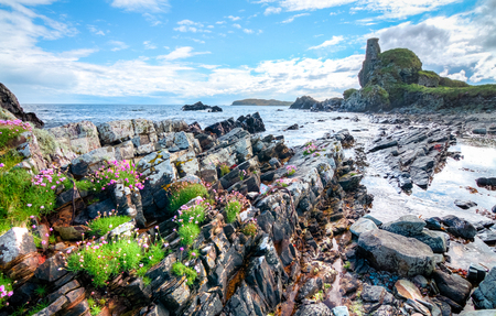 Pink flowers grow among the rocks at an intertidal zone on the island of Islay, Scotland, UK. Archivio Fotografico