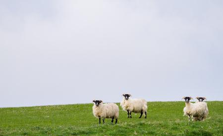 Sheep graze in a grassy field beneath dark cloudy skies on the island of Islay, Scotland. Archivio Fotografico