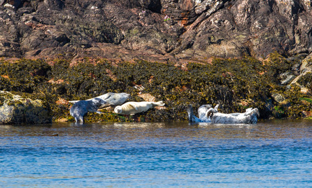 Grey seals (Halichoerus grypus) basking in the sun on the rocks at Port Wemyss, Islay, Scotland.