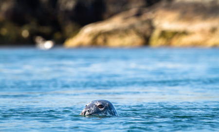 Grey seal (Halichoerus grypus) poking its head out of the water as it swims at Port Wemyss, Islay, Scotland.