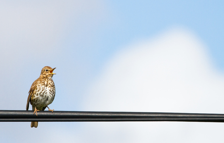 Hebridean Song Thrush (Turdus philomelos hebridensis) singing while perched on a power line on the island of Islay, Scotland.