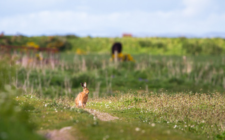 A European hare (Lepus europaeus) sits in a grassy field on a sunny day at the Loch Gruinart Nature Reserve on the island of Islay, Scotland. Archivio Fotografico - 120150195
