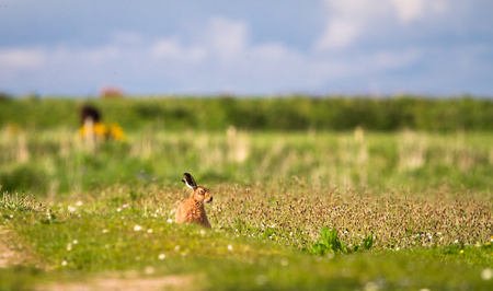 A European hare (Lepus europaeus) sits in a grassy field on a sunny day at the Loch Gruinart Nature Reserve on the island of Islay, Scotland.