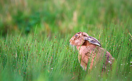 A European hare (Lepus europaeus) sits in a patch of horsetail (Equisetum arvense) at the Loch Gruinart Nature Reserve on the island of Islay, Scotland. Stock Photo
