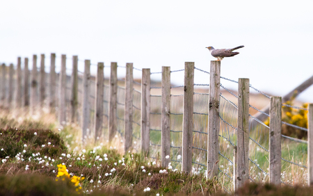 A common cuckoo (Cuculus canorus) perches on a fence post on the island of Islay, Scotland. Archivio Fotografico - 120150436